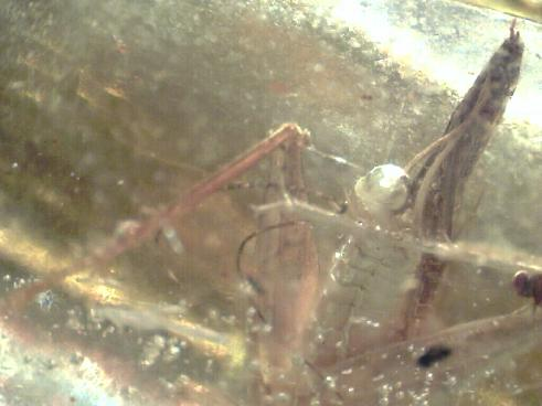 strange_insect_in_amber_1